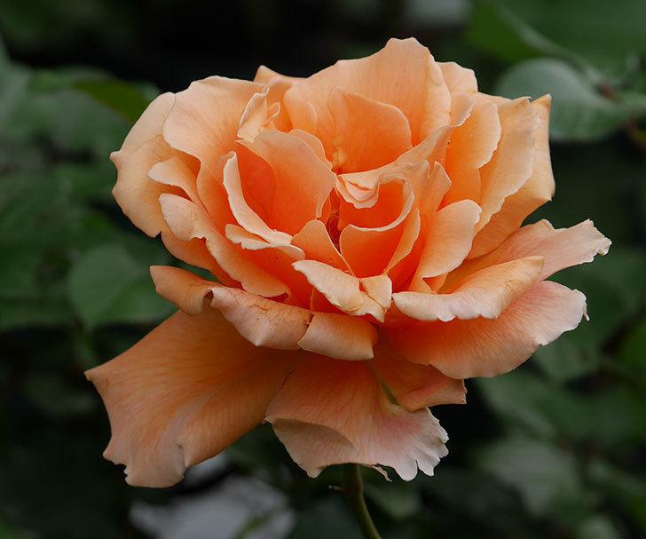 ジュリア(木立バラ)の花が咲いた。2018年-2.jpg