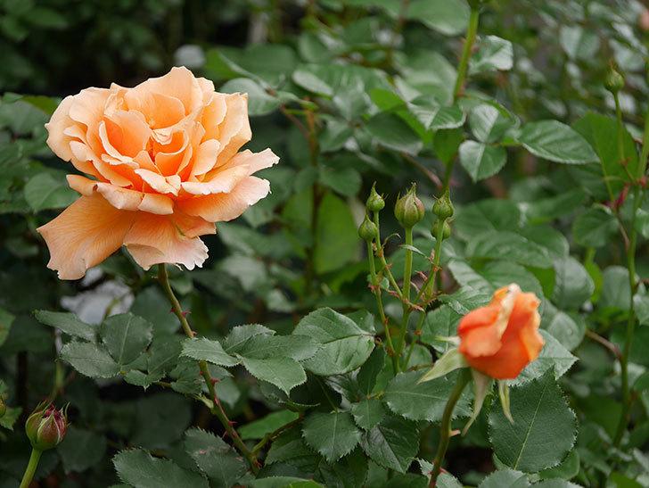 ジュリア(木立バラ)の花が咲いた。2018年-3.jpg