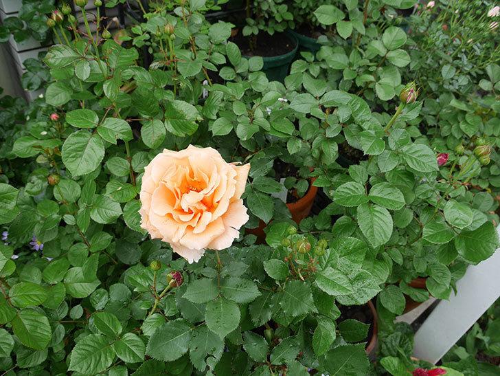 ジュリア(木立バラ)の花が咲いた。2018年-5.jpg