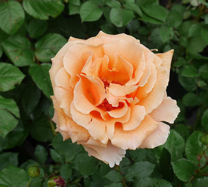 ジュリア(木立バラ)の花が咲いた。2018年-6.jpg