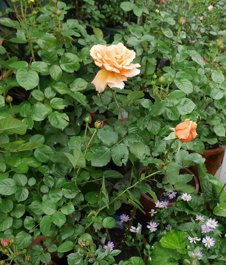 ジュリア(木立バラ)の花が咲いた。2018年-7.jpg