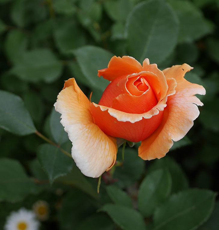 ジュリア(木立バラ)の花が少し咲いた。2019年-1.jpg