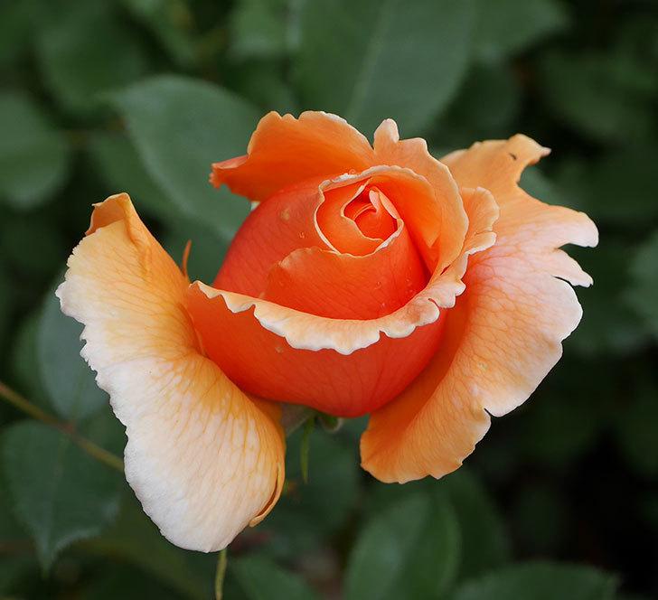 ジュリア(木立バラ)の花が少し咲いた。2019年-2.jpg
