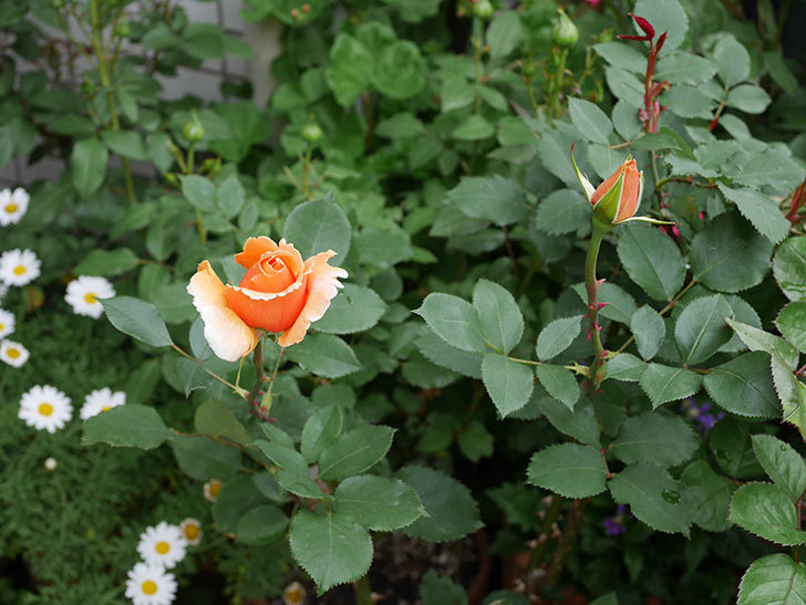 ジュリア(木立バラ)の花が少し咲いた。2019年-4.jpg
