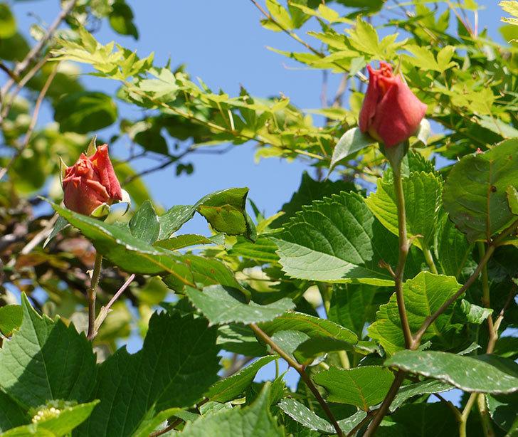 ジュリア(ツルバラ)が続々と咲き出した。2016年-3.jpg