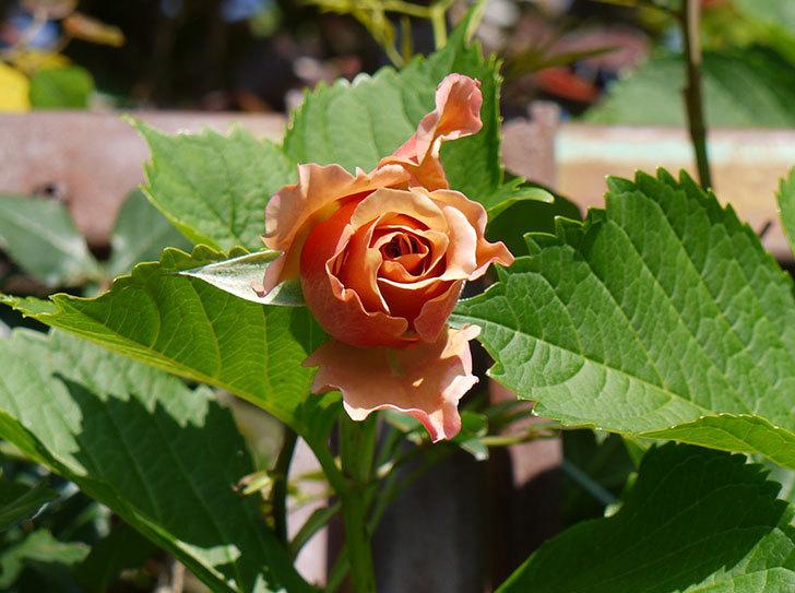 ジュリア(ツルバラ)が続々と咲き出した。2016年-4.jpg