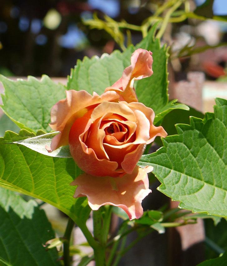 ジュリア(ツルバラ)が続々と咲き出した。2016年-5.jpg