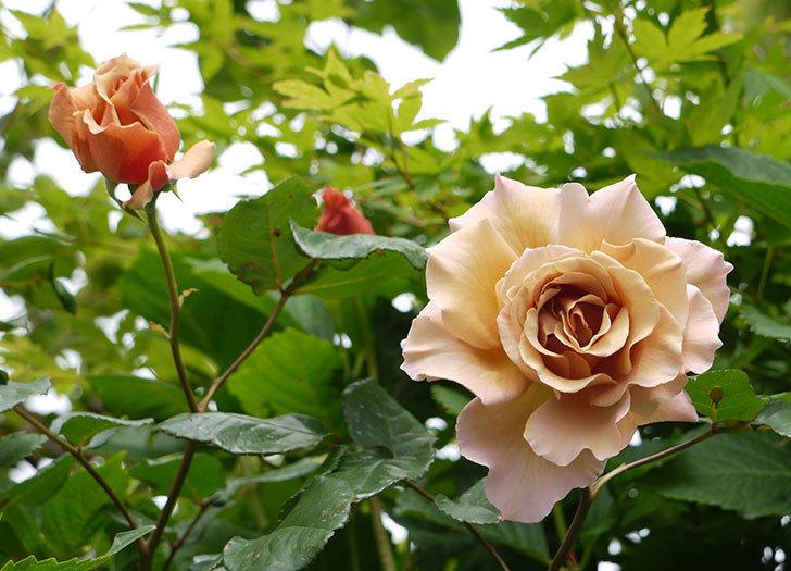 ジュリア(ツルバラ)の花が綺麗に咲いた。2016年-1.jpg