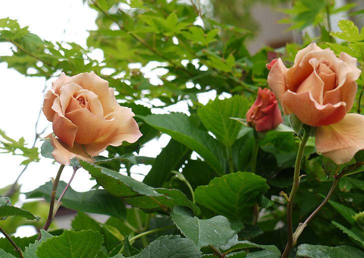ジュリア(ツルバラ)の花が綺麗に咲いた。2016年-10.jpg