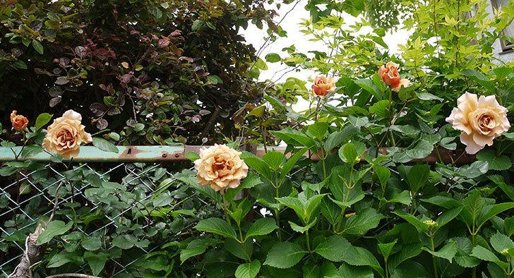 ジュリア(ツルバラ)の花が綺麗に咲いた。2016年-2.jpg