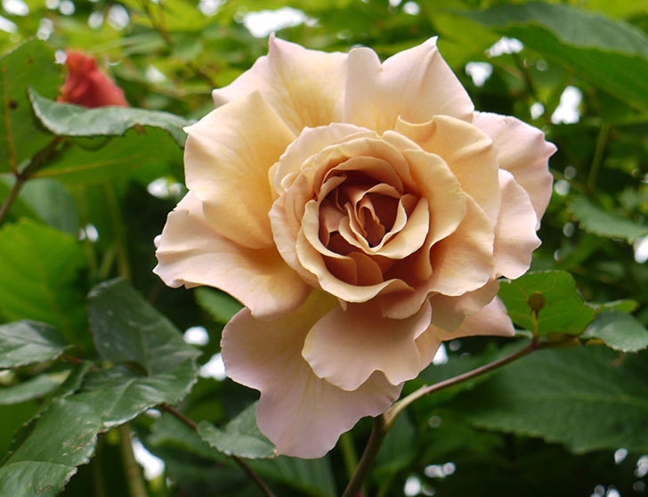 ジュリア(ツルバラ)の花が綺麗に咲いた。2016年-3.jpg