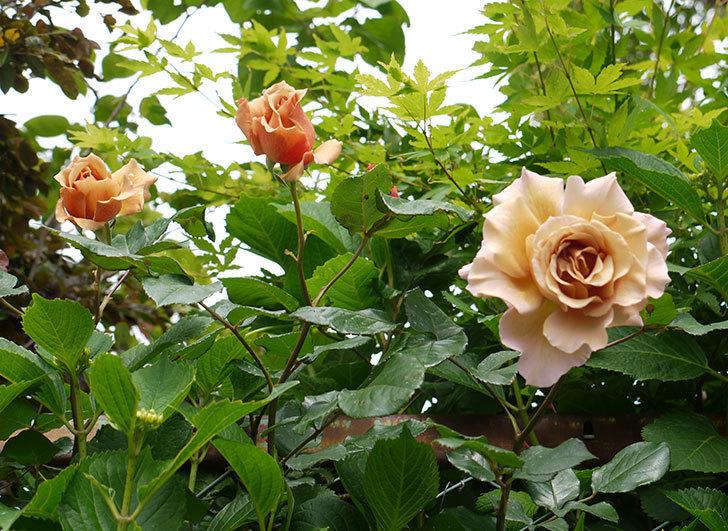 ジュリア(ツルバラ)の花が綺麗に咲いた。2016年-4.jpg