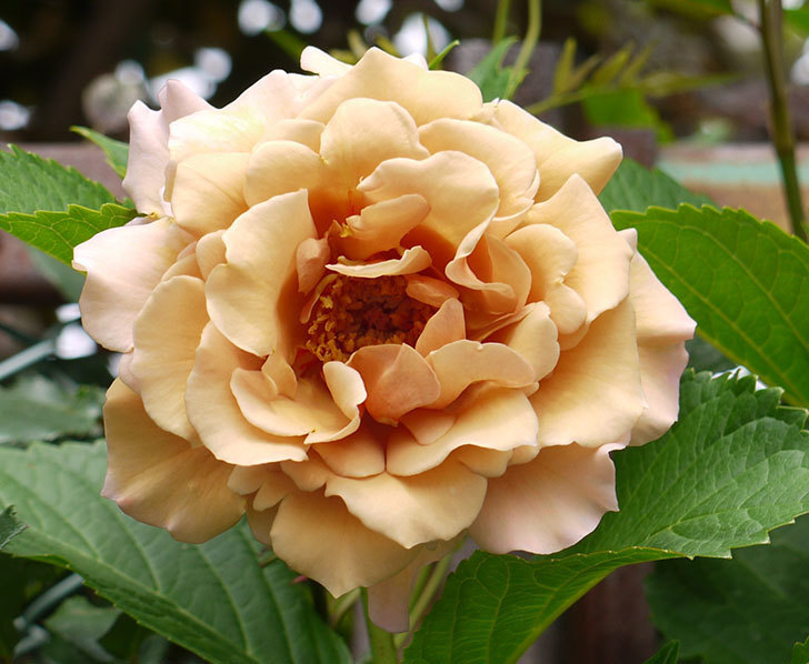 ジュリア(ツルバラ)の花が綺麗に咲いた。2016年-7.jpg
