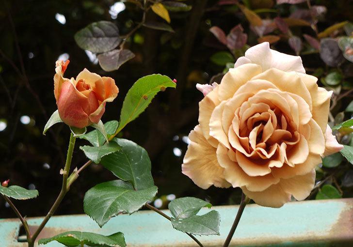 ジュリア(ツルバラ)の花が綺麗に咲いた。2016年-8.jpg