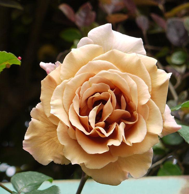 ジュリア(ツルバラ)の花が綺麗に咲いた。2016年-9.jpg