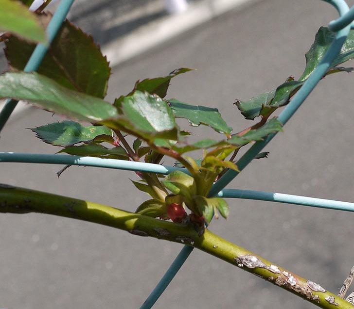 ジュリア(ツルバラ)の芽かきをした。2016年-2.jpg