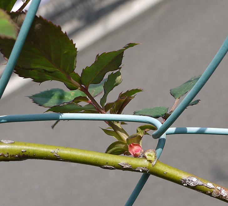 ジュリア(ツルバラ)の芽かきをした。2016年-3.jpg