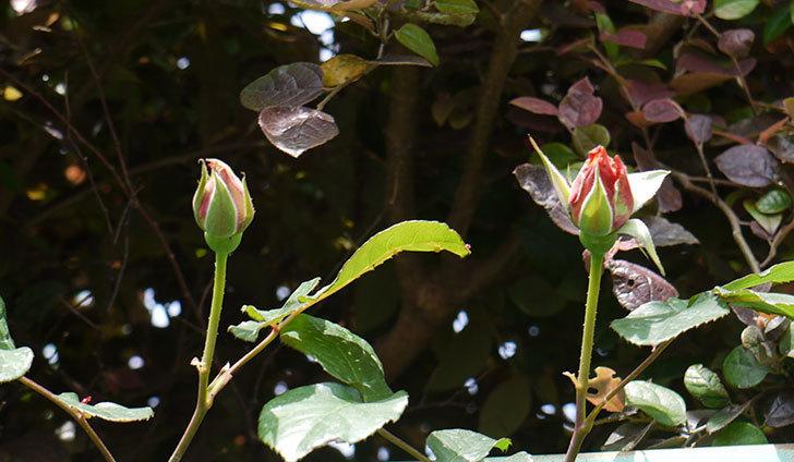 ジュリア(ツルバラ)の蕾が大きくなってきた。2016年-5.jpg