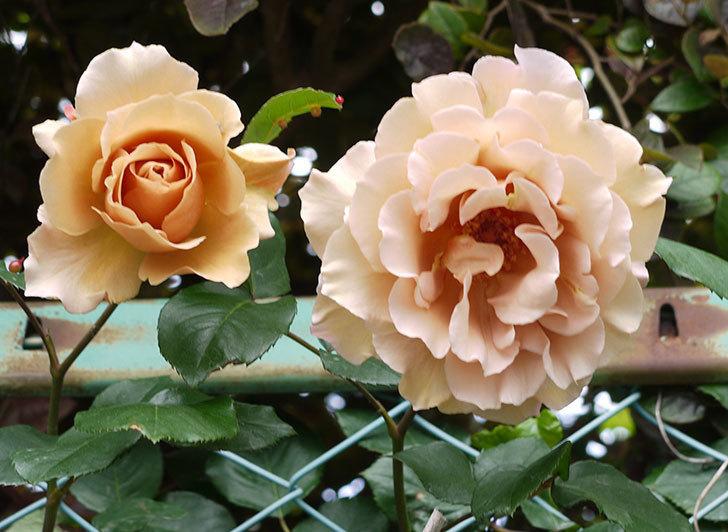 ジュリア(ツルバラ)を切り花にした。2016年-10.jpg