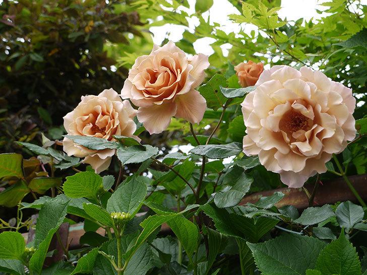 ジュリア(ツルバラ)を切り花にした。2016年-11.jpg