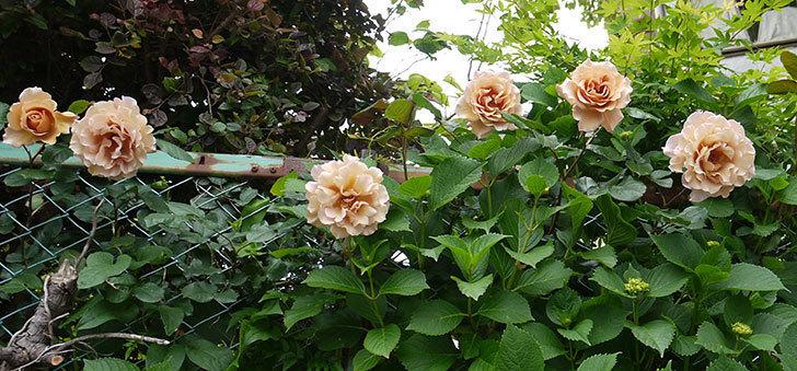 ジュリア(ツルバラ)を切り花にした。2016年-5.jpg