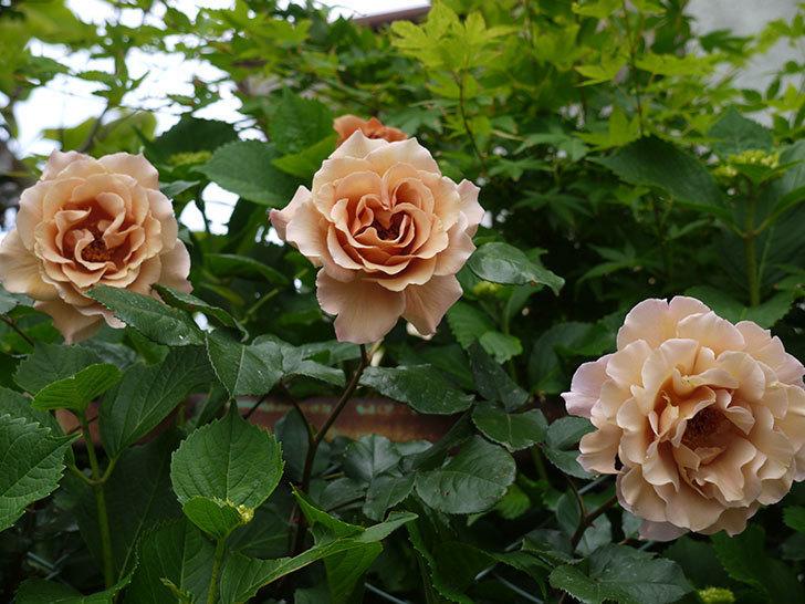 ジュリア(ツルバラ)を切り花にした。2016年-6.jpg