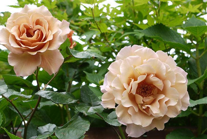 ジュリア(ツルバラ)を切り花にした。2016年-7.jpg