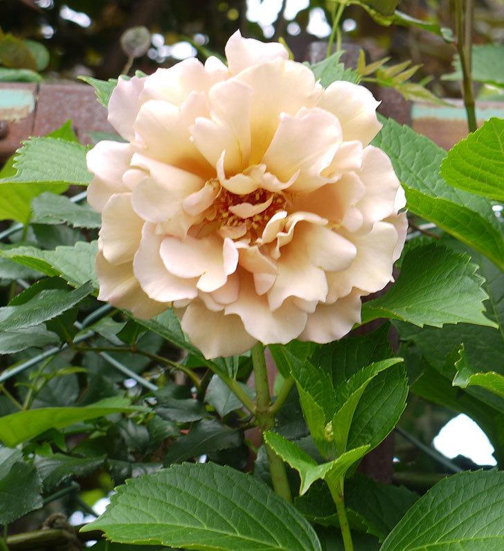 ジュリア(ツルバラ)を切り花にした。2016年-9.jpg