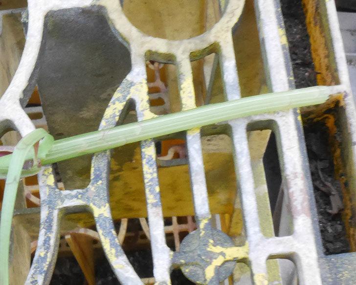 ジュード・ジ・オブスキュア(ツルバラ)が1本バラクキバチにやられて萎れた。2019年-4.jpg