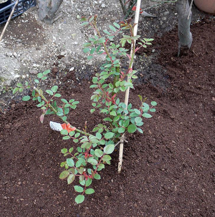 ジュード・ジ・オブスキュア(ツルバラ)の大苗を地植えした。2017年-1.jpg