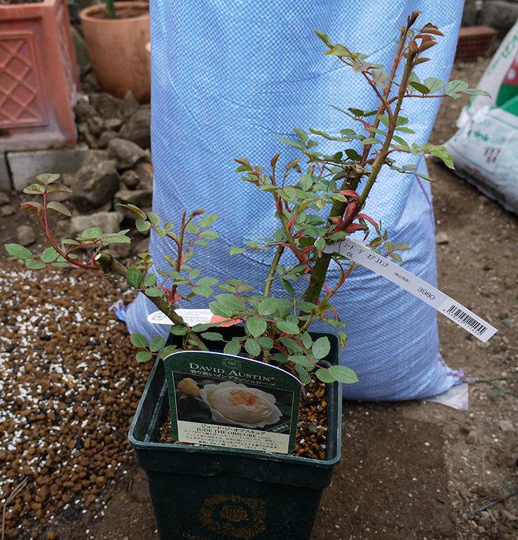 ジュード・ジ・オブスキュア(ツルバラ)の大苗を地植えした。2017年-11.jpg