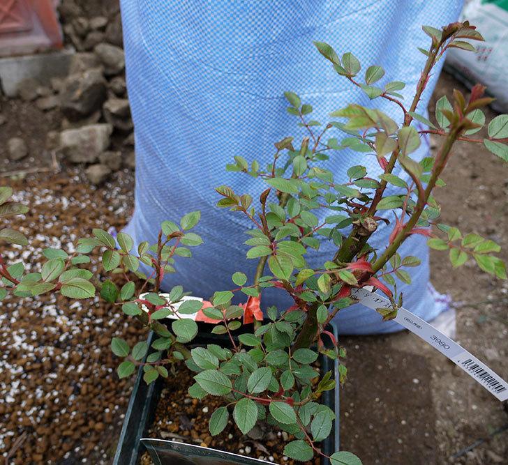 ジュード・ジ・オブスキュア(ツルバラ)の大苗を地植えした。2017年-12.jpg