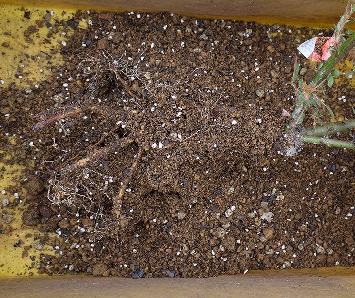 ジュード・ジ・オブスキュア(ツルバラ)の大苗を地植えした。2017年-14.jpg