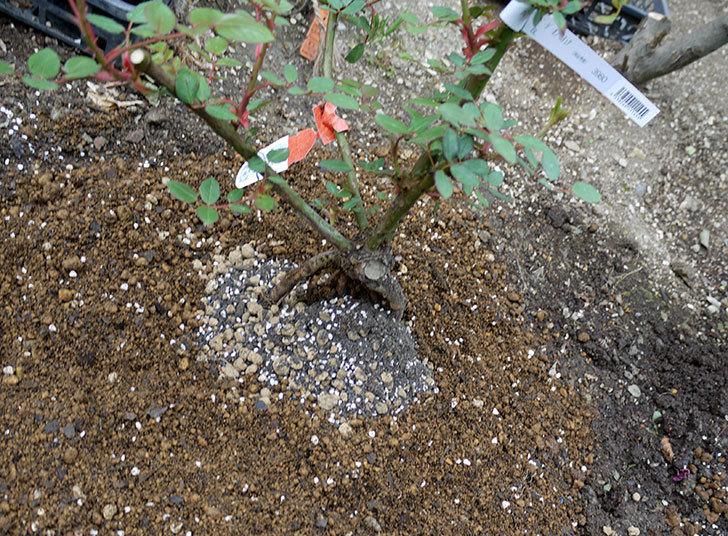 ジュード・ジ・オブスキュア(ツルバラ)の大苗を地植えした。2017年-16.jpg