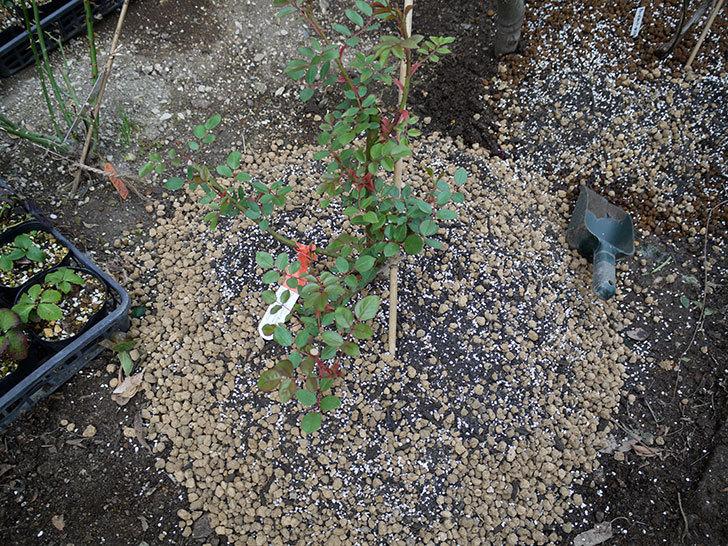 ジュード・ジ・オブスキュア(ツルバラ)の大苗を地植えした。2017年-17.jpg