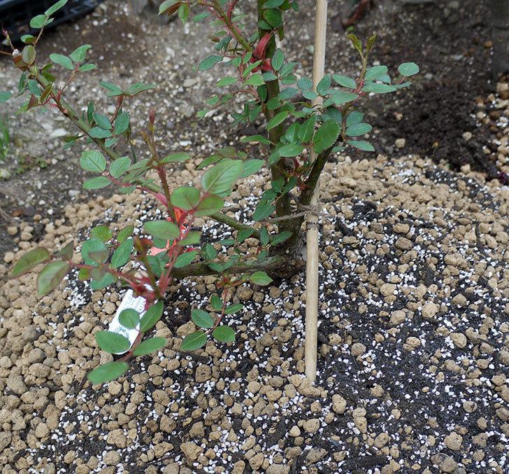 ジュード・ジ・オブスキュア(ツルバラ)の大苗を地植えした。2017年-18.jpg