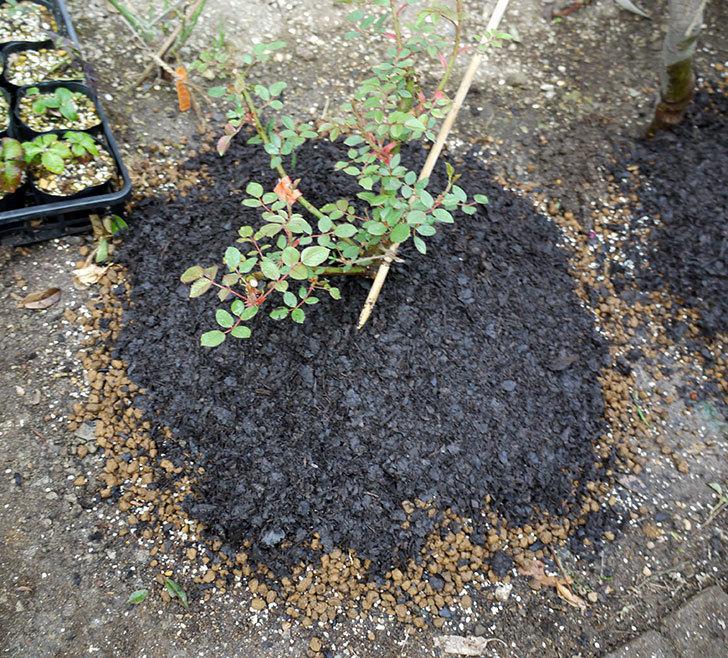 ジュード・ジ・オブスキュア(ツルバラ)の大苗を地植えした。2017年-19.jpg