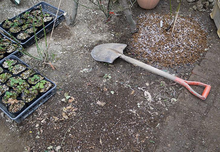 ジュード・ジ・オブスキュア(ツルバラ)の大苗を地植えした。2017年-2.jpg