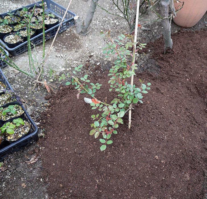 ジュード・ジ・オブスキュア(ツルバラ)の大苗を地植えした。2017年-20.jpg
