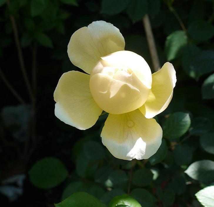 ジュード・ジ・オブスキュア(ツルバラ)の花がすこしだけ咲いた。2017年-1.jpg