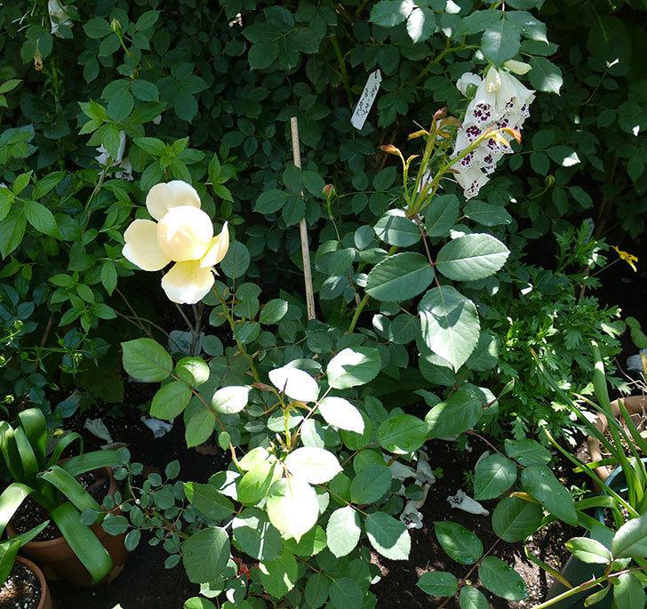 ジュード・ジ・オブスキュア(ツルバラ)の花がすこしだけ咲いた。2017年-2.jpg
