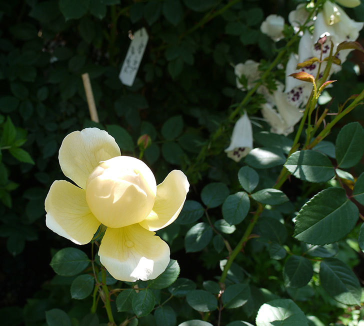 ジュード・ジ・オブスキュア(ツルバラ)の花がすこしだけ咲いた。2017年-3.jpg