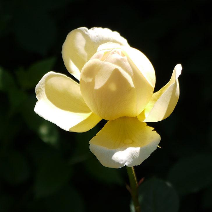 ジュード・ジ・オブスキュア(ツルバラ)の花がすこしだけ咲いた。2017年-4.jpg