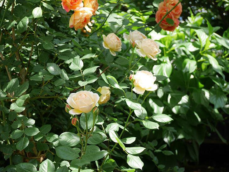 ジュード・ジ・オブスキュア(ツルバラ)の花がたくさん咲いた。2018年-10.jpg