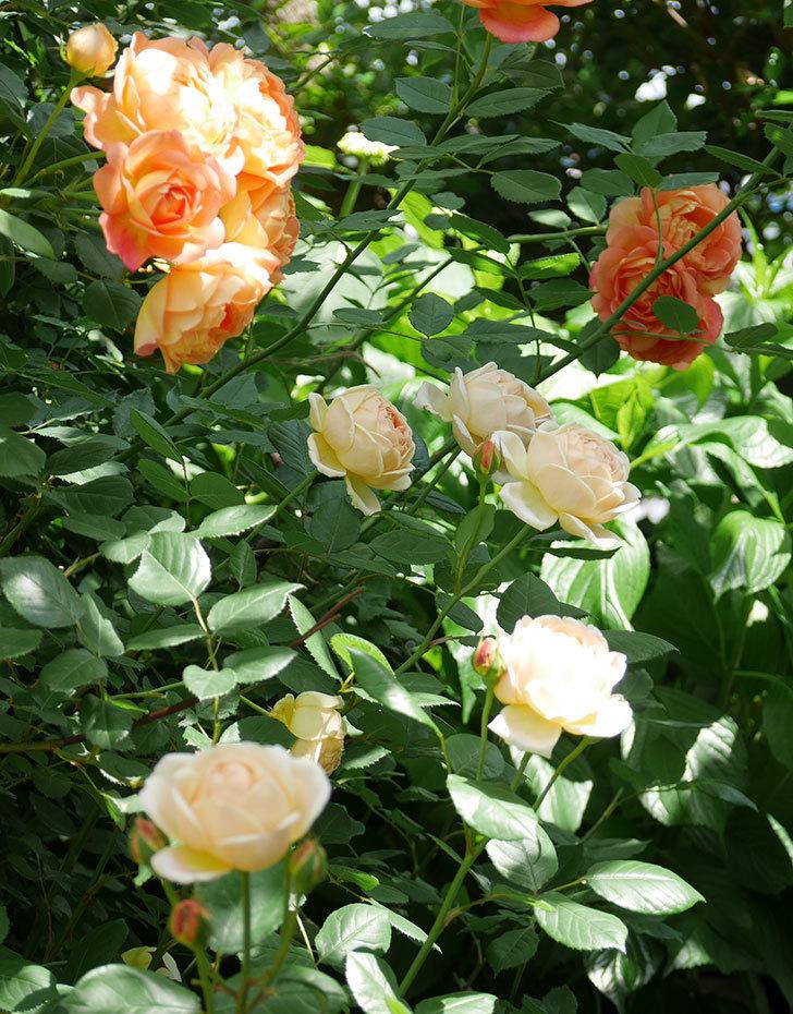 ジュード・ジ・オブスキュア(ツルバラ)の花がたくさん咲いた。2018年-15.jpg