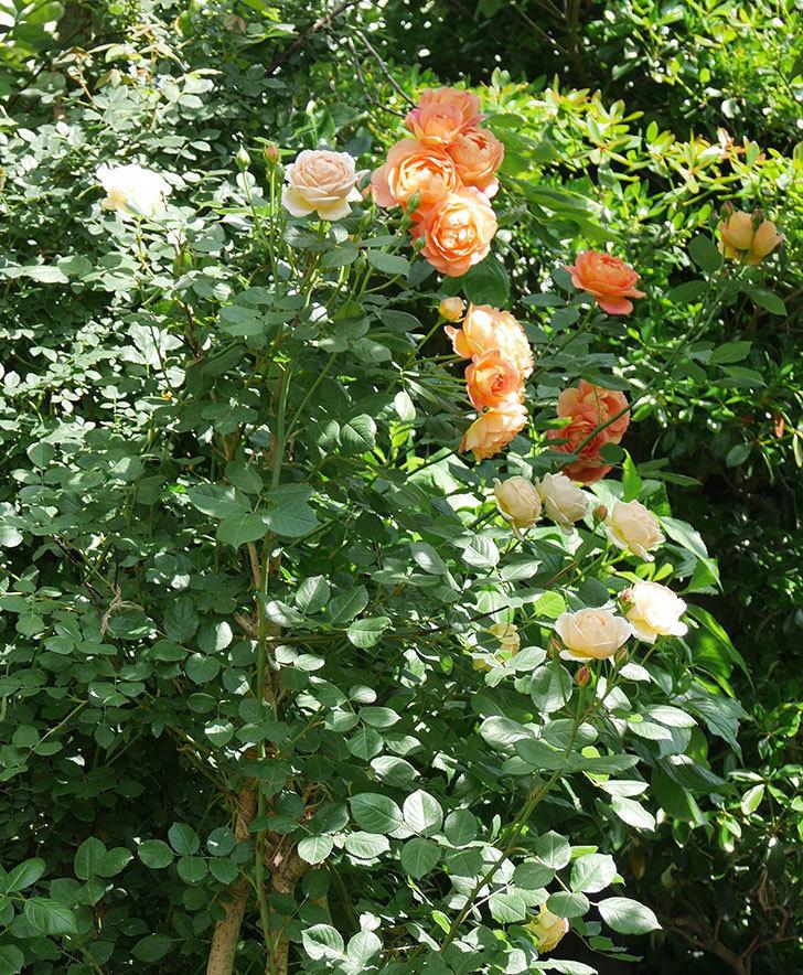ジュード・ジ・オブスキュア(ツルバラ)の花がたくさん咲いた。2018年-2.jpg