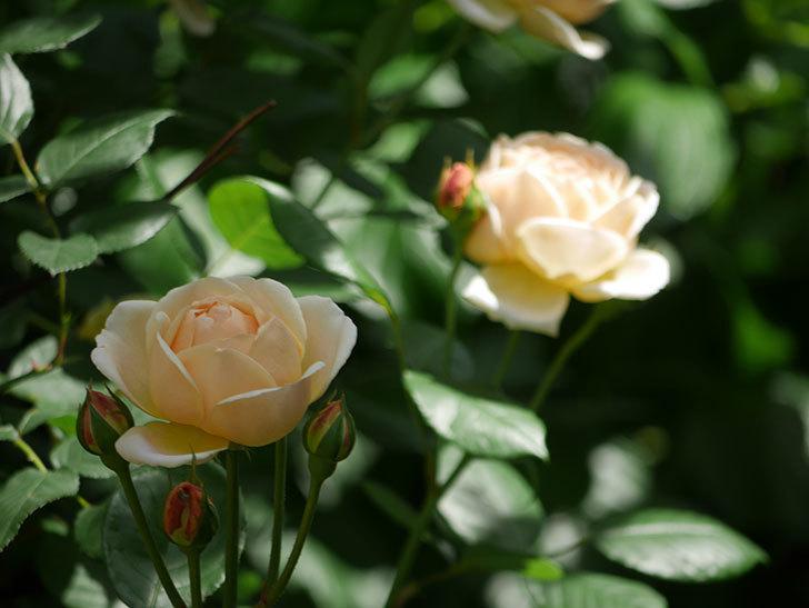 ジュード・ジ・オブスキュア(ツルバラ)の花がたくさん咲いた。2018年-5.jpg