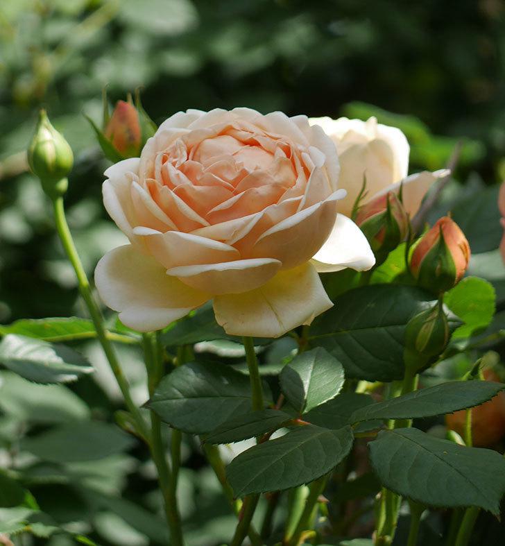 ジュード・ジ・オブスキュア(ツルバラ)の花がたくさん咲いた。2018年-6.jpg