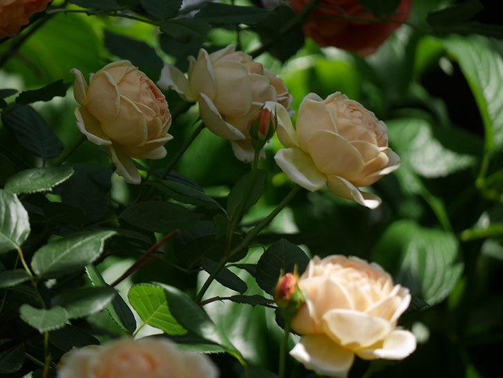 ジュード・ジ・オブスキュア(ツルバラ)の花がたくさん咲いた。2018年-7.jpg
