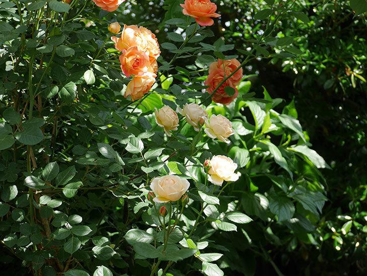 ジュード・ジ・オブスキュア(ツルバラ)の花がたくさん咲いた。2018年-8.jpg